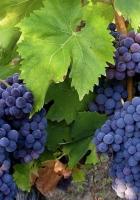 grapes, leaves, crop