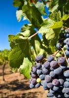 grapes, rod, garden