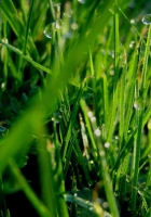 grass, dew, drops