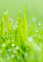 grass, dew, green