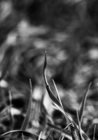 grass, smeared, black white