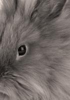 gray, baby, bunny