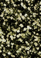 gypsophila, white, small