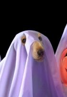 halloween, holiday, dog
