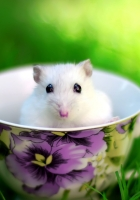 hamster, cup, rodent