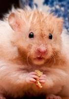 hamster, fluffy, food