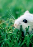 hamster, grass, rodent