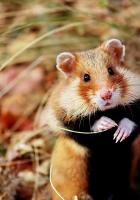 hamster, wild, leaves