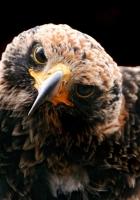 hawk, birds, predator