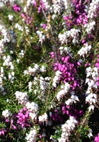 heather, flowers, herbs