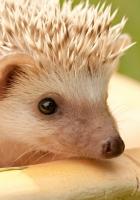 hedgehog, muzzle, eyes