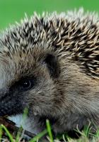 hedgehog, prickles, leaves
