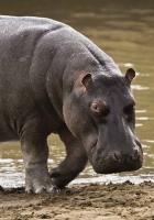 hippopotamus, beach, water