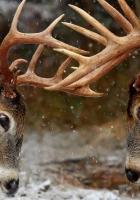horns, forest, winter