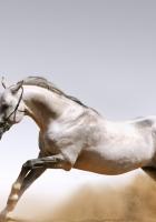 horse, gallop, manes
