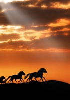horse, herd, sunset