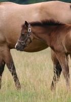 horse, stallion, cub