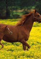 horse, stallion, family