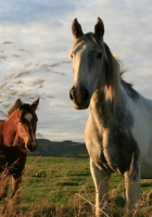 horses, couple, field
