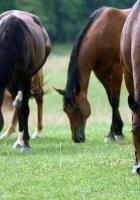horses, grass, food