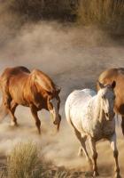 horses, herd, dust