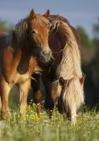 horses, stallion, grass