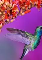 hummingbird, bird, flight