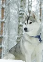 husky, dog, collar