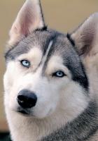 husky, dog, face