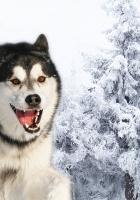 husky, dog, fluffy