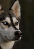 husky, muzzle, dog