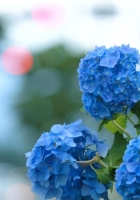 hydrangea, bloom, blue