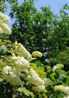 hydrangea, blooms, greenery