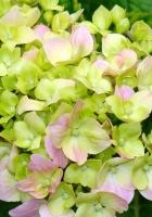 hydrangea, blooms, leaves