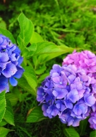 hydrangea, flowers, herbs