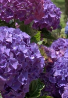 hydrangea, herbs, flower
