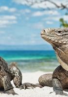 iguana, reptile, reptiles