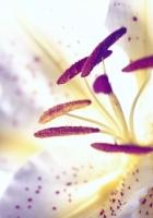 ily, flower, pistils