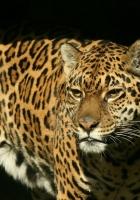 jaguar, big cat, spotted