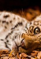 jaguar, foliage, down
