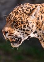 jaguar, grin, grass