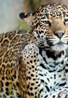jaguar, jaguar cub, kitten