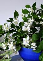 jasmine, flower, spring