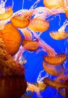 jellyfish, underwater, sea