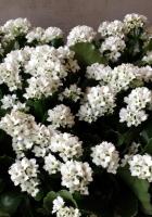 kalanchoe, flowers, white