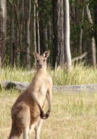 kangaroos, hopping, furry
