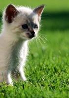 kitten, grass, walk