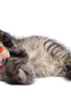 kitten, gray, fluffy