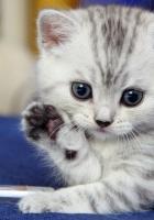kitten, gray, white