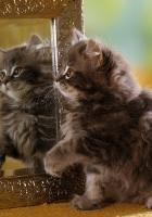 kitten, mirror, reflection